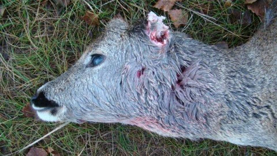 Dna-prøver bekræfter: Bukkelam blev dræbt af ulv