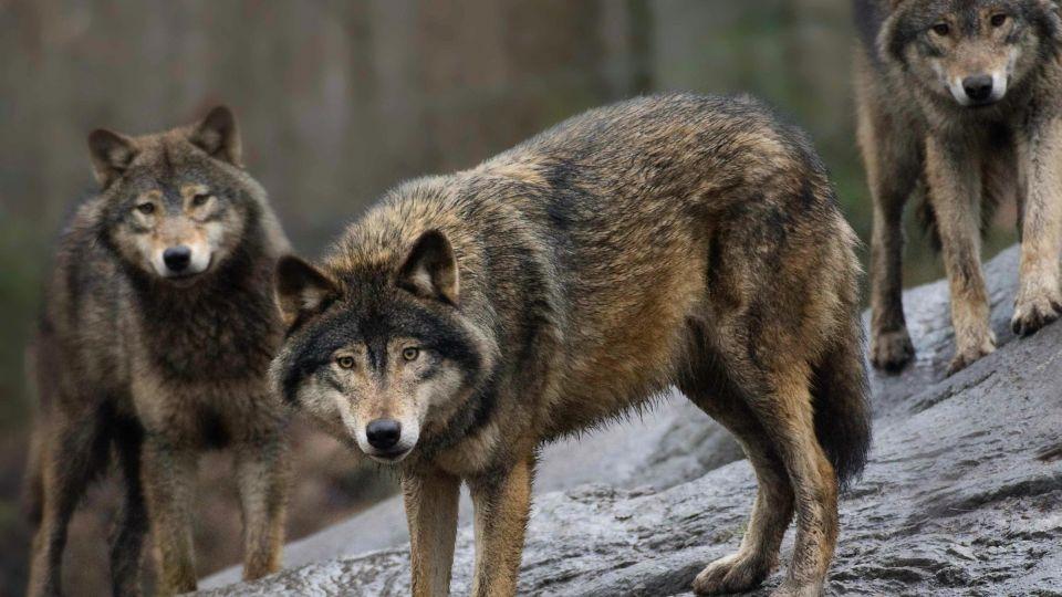 danmark analyser afsloerer nu er der mindst ulve i danmark