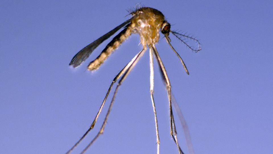verdens farligste myg