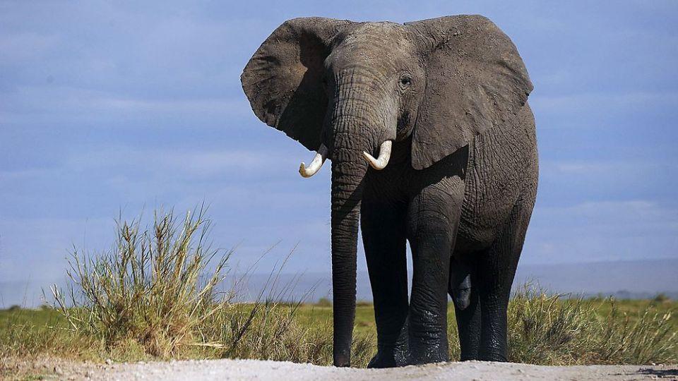 den afrikanske elefant