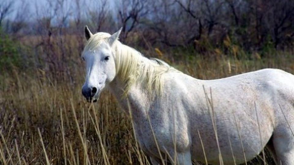 den hvide hest menstruation efter samleje