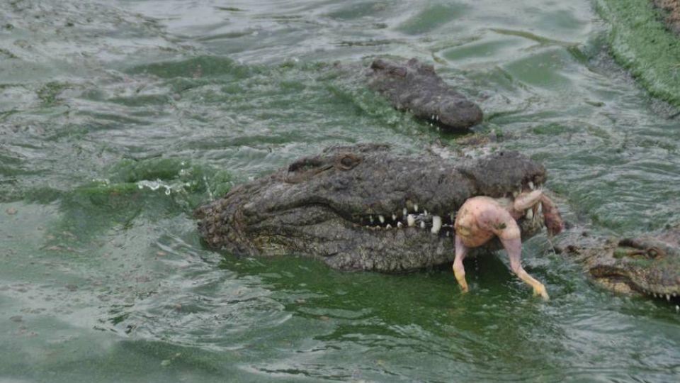 verdens største krokodille