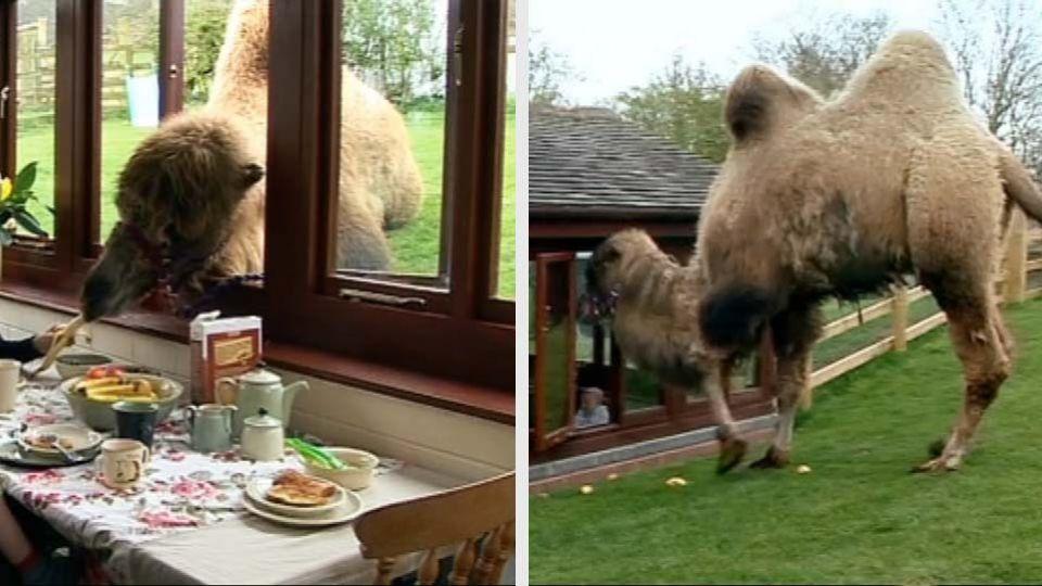 hvad spiser kameler