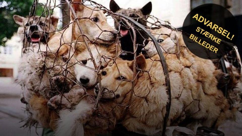 Slagter 10 000 Hunde Kinesisk Festival Under Massiv