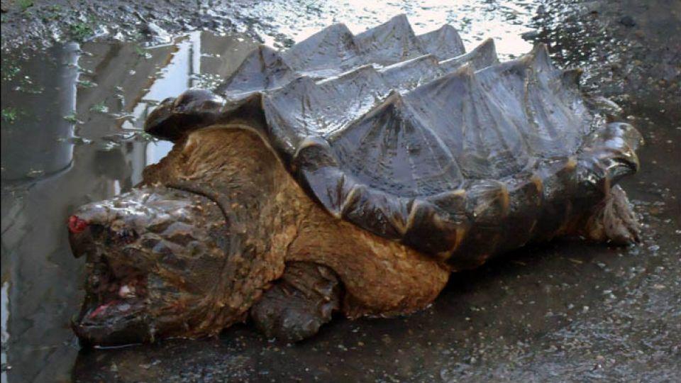 største skildpadde