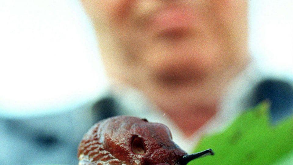 skovsnegl vs dræbersnegl