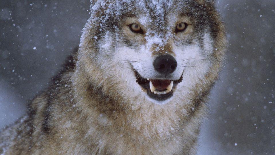 ulv angriber hund