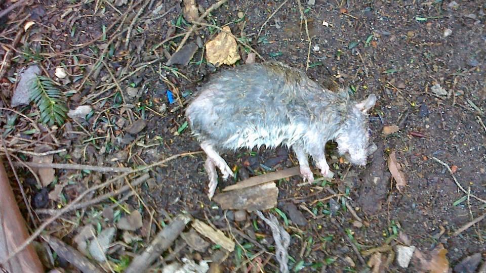 død rotte