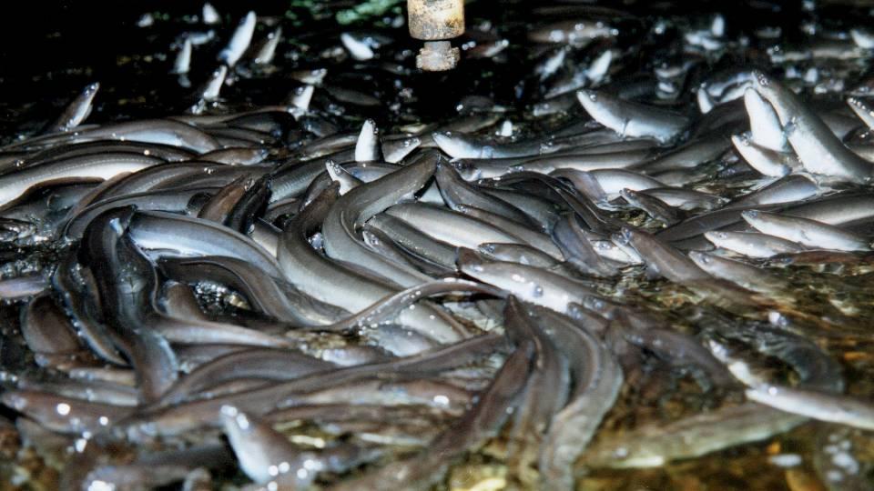 levende ål sælges