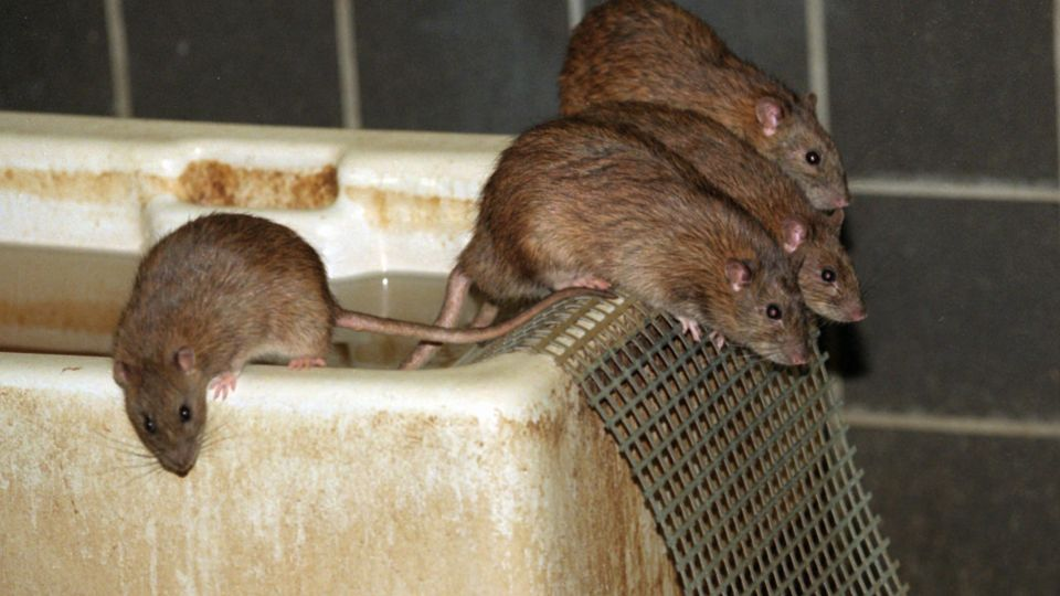 spor efter rotter
